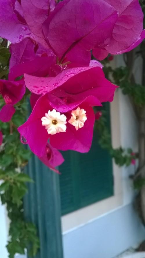 Cascais flowers